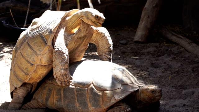 Centrochelys sulcata - sulcata schildpad paring