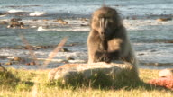 A Chacma Baboon rests its hands on a beach rock. Available in HD.