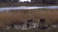 Chacma baboon troop forage in swamp, Okavango Delta, Botswana