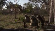 Chacma baboon troop, Okavango Delta, Botswana