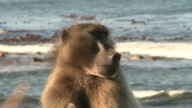 A Chacma Baboon yawns while sitting near the ocean. Available in HD.