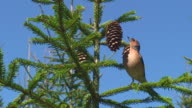 Chaffinch Feeding on Cone Seeds