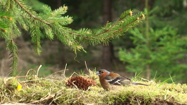 Chaffinch Feeding under the Spruce Tree