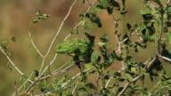 Chameleon- Camouflage Walk on Jujube Tree