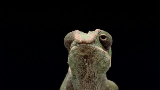 CU, LA, Chameleon catching prey with extensile tongue