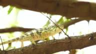 Chameleon on acacia tree - Panther chameleon (Furcifer pardalis)