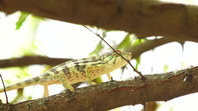 Chameleon on acacia tree - Panther chameleon (Furcifer pardalis)