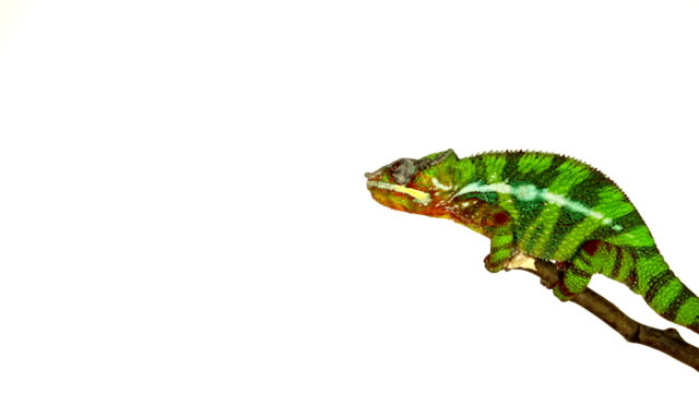 Chamois-animal schieest