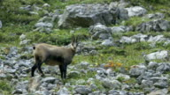 chamois on mountain rocks