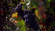 CU FOCUSING Champagne grapes growing in vineyard / Epernay, Champagne Ardennes, France