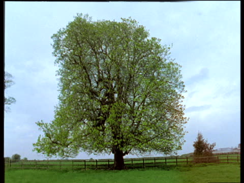 Changing foliage of a Horse Chestnut tree throughout spring, UK