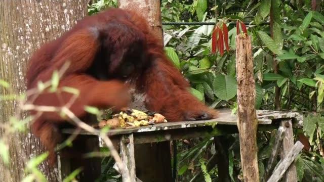 Prince Charles feeds Orangutan in rainforest MALAYSIA Borneo EXT Orangutan and baby orangutan along in tree Baby orangutan carrying banana along in...