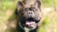 Bezaubernde Französische Bulldogge