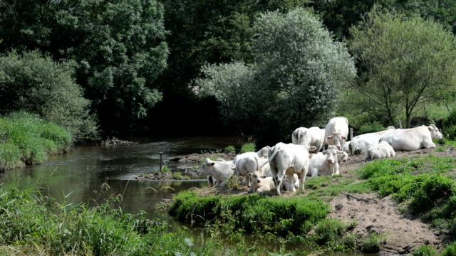 Charolais Cattle Burgundy France