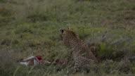 Cheetah and cub feed on gazelle 1