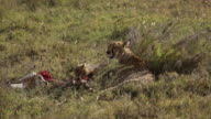 Cheetah and cub feed on gazelle 3