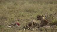 Cheetah and cub feed on gazelle 4