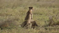 Cheetah and cub feed on gazelle 5