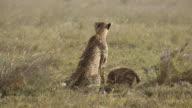 Cheetah and cub feed on gazelle 6