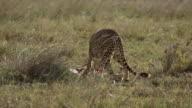 Cheetah and cub feed on gazelle 7