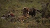 Cheetah and cub feed on gazelle 8