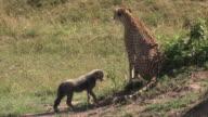Cheetah and cub, Masai Mara, Kenya