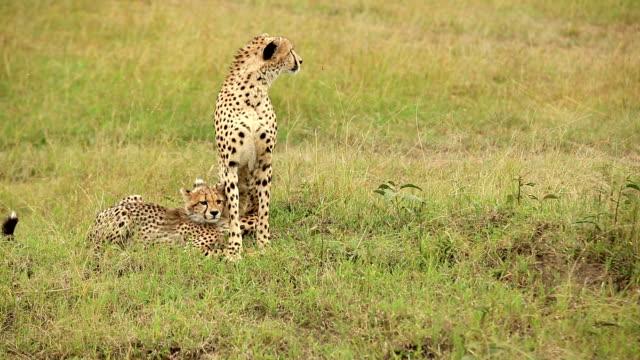 Cheetah och Cub