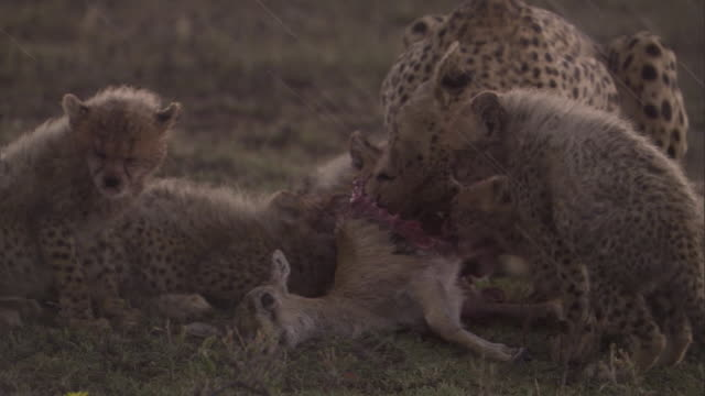 Cheetah and cubs feed on gazelle fawn on savanna in rain. Available in HD.