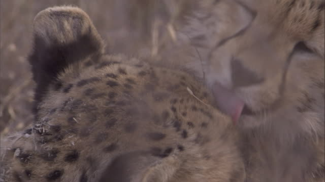 A cheetah and her cub nuzzle and lick each other. Available in HD.