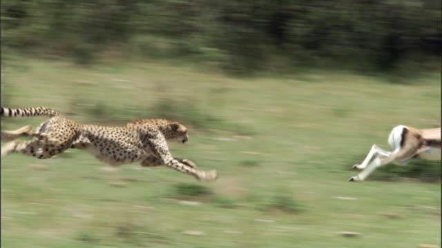 Cheetah (Acinonyx jubatus) chases Thomson's gazelle (Eudorcus thomsonii), Masai Mara, Kenya