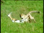 Cheetah chases Thomson's gazelle which falls, but manages to get up and escape, Masai Mara