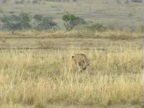 PAN WS Cheetah chasing gazelle