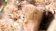 MS Cheetah Cub