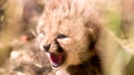 CU Cheetah Cub