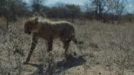 A cheetah cub walks through shrubs. Available in HD.