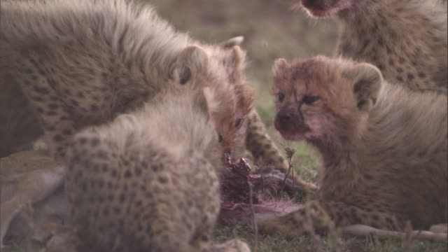 Cheetah cubs eat bloody carcass. Available in HD.