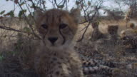 Cheetah cubs rest in dry grass. Available in HD.