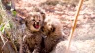 MS Cheetah Cubs