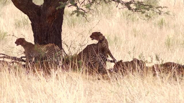 Cheetah Family in the Kalahari