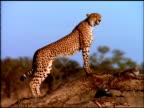 Cheetah flicking tail and looks around savanna from fallen tree branch, Botswana