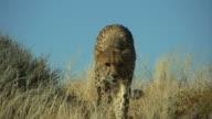 Cheetah -Gepard1