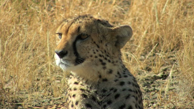 Cheetah - Gepard2