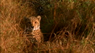 A cheetah hides in the grassy savanna. Available in HD.