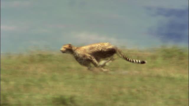 Cheetah hunts gazelle and eats it
