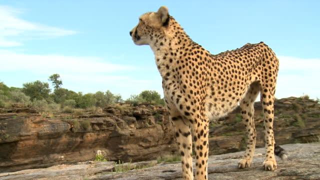 CU PAN Cheetah in rocky area / Kunene, Namibia