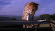 Cheetah jumps onto bonnet of jeep and looks around, South Africa Available in HD.