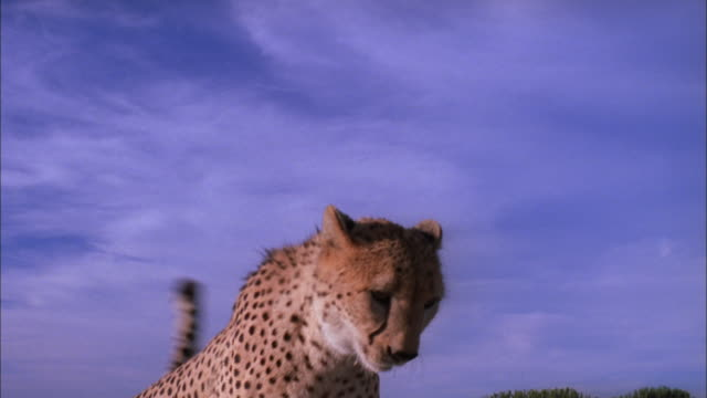 Cheetah jumps onto bonnet of jeep and looks out into distance, South Africa Available in HD.