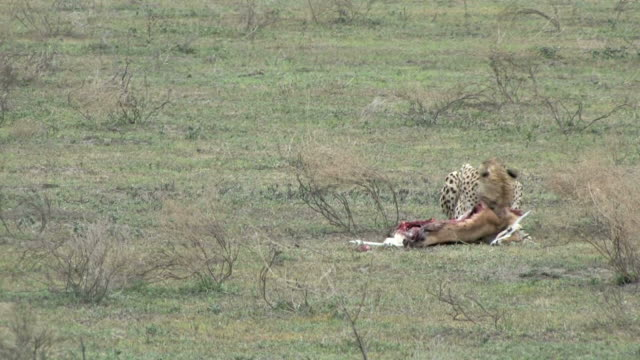 Cheetah Kill Series