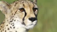 CU Cheetah looking around / D2440, Otjiwarongo, Namibia