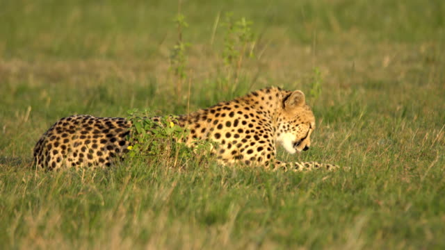 Cheetah resting in African savannah